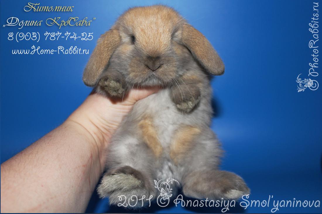 карликовые кролики: карликовый баран окрас шиншилловый