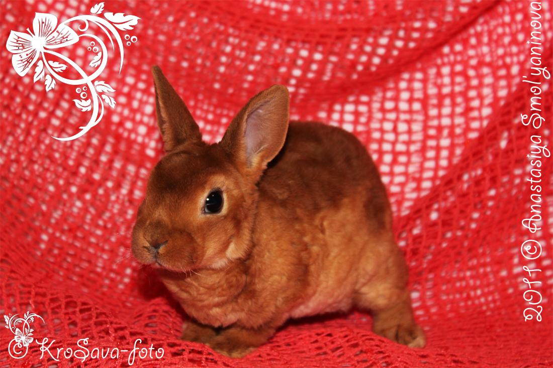 карликовые кролики: карликовый рекс, окрас красный